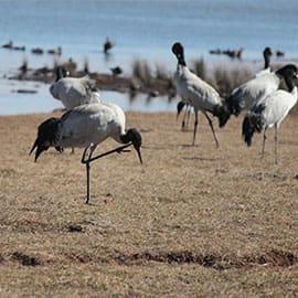 大山包位于昭通市西部,年平均气温6.2℃。作为国家一级保护动物——黑颈鹤的越冬栖息地,已被国内外的科技工作者、摄影家所熟知。每到冬季,大批的科技工作者、摄影家背负行囊,登上了大山包;在大山包的跳墩河水库、大海子水库两个地方可看到成群结队的黑颈鹤在湖边觅食、栖息。
