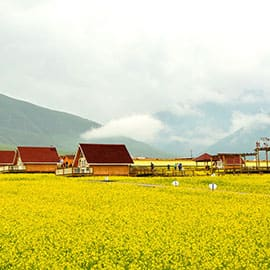 门源油菜花位于门源县,是青海省及西北地区的主要油料产区,由此,这里的油菜花也成为了一种美丽而蔚为壮观的人造景观。另外,这里油菜花的种植范围是,它西起浩门河畔的青石嘴,东到大通河畔的玉隆滩,北到与甘肃省交界的冷龙岭,南至高峻的大坂山,绵延数十公里,约60万亩。门源的油菜花是全国最壮观的。通常最佳花期是7月中下旬。