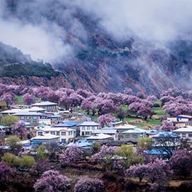 林芝嘎啦桃花村是3月赏桃花的首选之地。嘎拉村在林芝县城东南方向,那里有一片天然野生桃林,人们称它为桃花沟。野桃花竞相开放,随处可见。可林芝的桃花林多了几分磅礴的气势,有动人心魄的美丽~~~