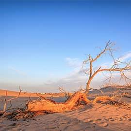 """怪树林在额济纳旗达来呼布镇西南28公里处,所谓""""怪树林"""",是数百年前因自然灾害——极端的干旱而致成片的胡杨枯死,且干燥的环境让胡杨枯而不腐、挺立不倒,才使今人能观赏到形状各异的胡杨造型。"""