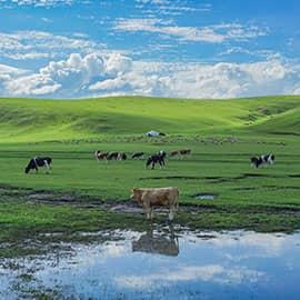 """金帐汗草原位于被老舍先生誉为""""天下第一曲水""""的莫日格勒河畔。这里有丰富的蒙古文化,可以多方面了解蒙古族的历史,可参加千余年来草原上依然延续的富有神秘色彩的祭祀活动----祭祀敖包,感受""""敖包相会""""的神秘与浪漫;这里是由我国著名导演冯小宁执导的电影《嘎达梅林》的拍摄地,影片中的男主人公就是这里的主人,接受蒙古族迎宾礼仪——下马酒,拜访牧民家庭"""