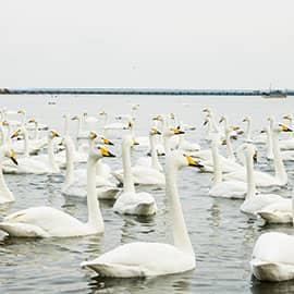 烟墩角天鹅湖