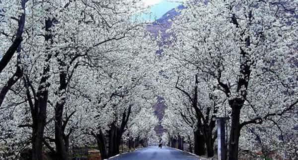 金川梨花节
