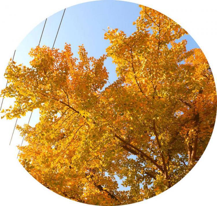中国千年银杏谷位于湖北随州市曾都区洛阳镇,有很多棵千年古树,特别壮观,适合拍照,需要门票
