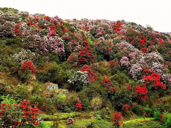 百里杜鹃,欣赏植物还是得挑个好天气,所以出发前要看好百里杜鹃天气预报。不过这里的杜鹃花一般清明节开得最旺盛,清明一般也是雨水最多的时候。大家记得带上雨具出行。