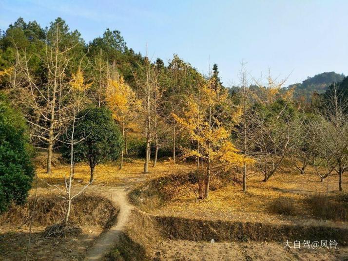 海洋银杏林,海洋银杏林位于桂林灵川县海洋乡境内。一大片金黄色的树林很是养眼,拍照也很好看,有机会还会再来海洋银杏林的