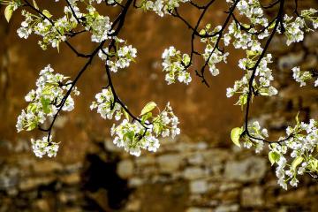 成都周边3日春季自驾游:金川梨花-西索民居-丹巴甲居藏寨3日休闲赏花自驾游