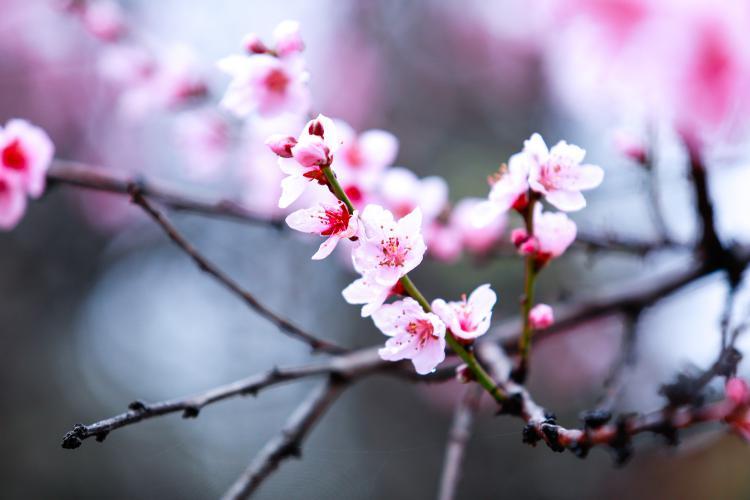 林芝桃花节