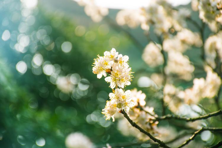 三月份按道理来说,川西到部分地区还是冰雪的状态,但是偏偏有一处地方花开,那就是金川百里梨花谷,简直是川西的打头春,生态藏寨和水灵灵的梨花搭配,