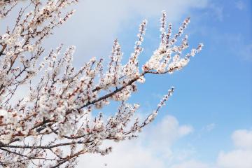 《伊犁春天》赛里木湖+中华福寿山杏花+吐尔根杏花+那拉提草原 7日自驾