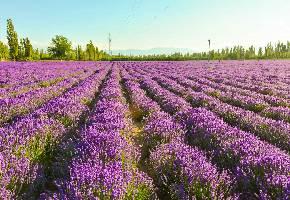 新疆伊犁的霍城县是一座名副其实的薰衣草之城,这里种植了全国面积最大密度最高的薰衣草田,每到6-8月份,霍城附近马路两侧的农田内都会有薰衣草开放,紫色的田园十分浪漫,也吸引了大批游客过来摄影参观。不过一般都要付给当地的农家一点费用,一般每人5-10元即可进入花田拍照。这里不是景区,是当地农民自己家散种的。