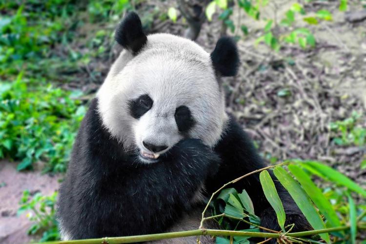 成都大熊猫繁育基地,成都最有看头的地方